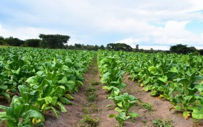 Zim looks to expand earnings from agricultural sector through hemp