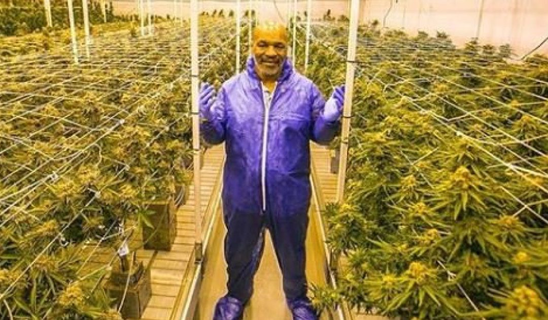 GREEN FINGERS Mike Tyson reveals plans to set up cannabis farm on Caribbean island to cater for pot-loving Brits
