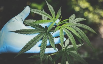 Zambia Legalizes Medical Cannabis To Boost Economy